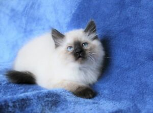 Fluffy Ragdoll kittens for adoption..