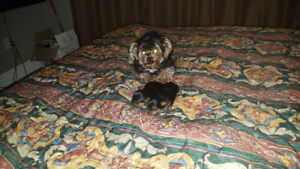 Full breed Yorkie puppies for sale in Appleton