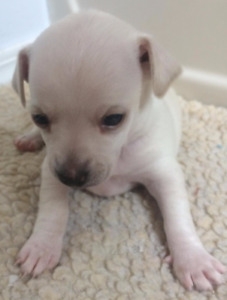 CUTE, CUDDLY, PLAYFUL CHIHUAHUA PUPPIES FOR SALE!!!!!