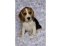 KC Reg Tri Colour Beagle Bitch Pup