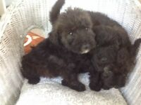 Schnoodle puppys for sale