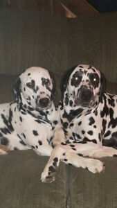 10 DALMATIAN puppies Born January 2