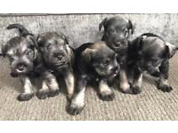 Pedigrees miniature schnauzer puppies