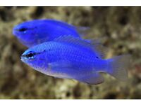 Blue damsel Marine fish