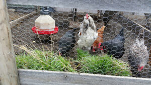 Chickens - Hens - Rooster
