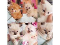 Ragdoll x kittens for sale