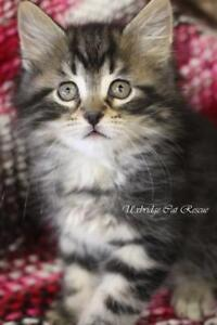 "Baby Male Cat - Domestic Medium Hair-Tabby (Brown): ""Traveller"""