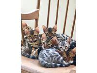 Stunning Pedigree Bengal Kittens For Sale
