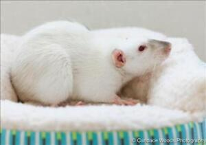 """Adult Female Small & Furry - Rat: """"Lyla With Libby"""""""
