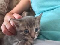 Silver bengal kitten male