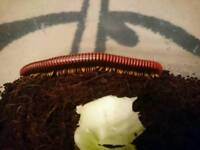 Fire millipede