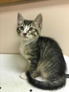 "Baby Male Cat - Domestic Short Hair: ""Thor"""