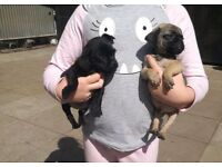 4 boy jug puppies for sale, ready now