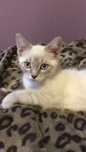 Siamese Male Kitten  looking for his forever home.