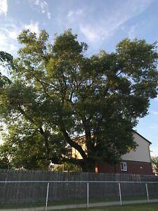 Tree/Arbre/Free Wood/Bois Gratuit/Fireplace/ BOIS DE CHAUFFAGE