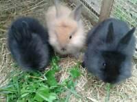 rabbits ready now