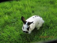 RABBIT FEMALE 7 MONTHS OLD LOP CROSSED ENGLISH NICE MARKINGS
