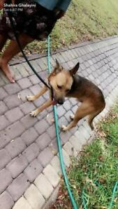 "Adult Male Dog - German Shepherd Dog-Canaan Dog: ""Hero"""