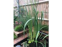 Pond Plant - Large Iris in a pot