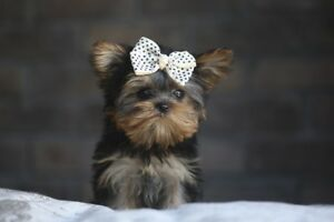 Micro, Teacup, Toy Doll faced Yorkies