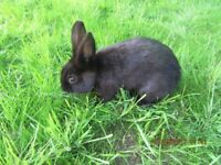 RABBIT FOR SALE ENGLISH CROSSED LOP 6 MONTHS OLD. ONLY FOR SALE TO LOVING PET HOMES AND FAMILIES