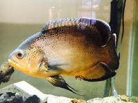 Red Oscar Cichlid Tropical Fish for Aquarium
