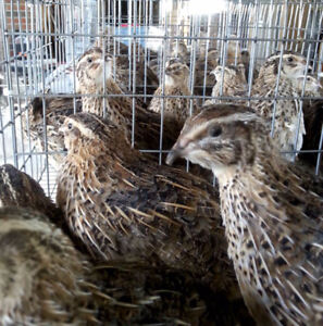 Call ducklings, chicken pullets and quails