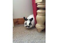 Dwarf Rabbit for sale.