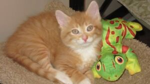 """Tug"" & ""Oscar"" - adorable male kittens for adoption"