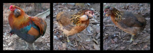 Looking for Araucana' Chickens ! ! !