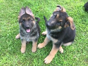 Puppies German Shepherds Pure Bred