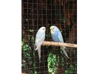 White and blue budgies, £15 for 1, £25 for a pair