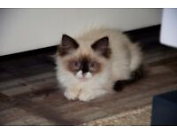 Full Pedigree Ragdoll Kittens GCCF - LAST ONE