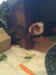 2 Male Guinea Pigs - Free to Good Home