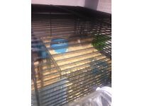 Cream coloured Syrian hamster