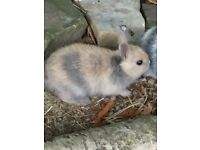 Gorgeous baby Netherland dwarf rabbits lots colours boys and girls LOOK NOW