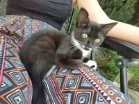 Female black and white kitten