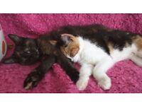 2 girl torti kittens