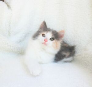 Fluffy Ragdoll cross kittens are ready for their new homes.
