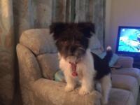 French bulldog/ shi tzu puppy