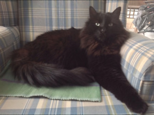 Lost Black Long Haired Cat