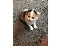 Beautiful kittens 2x females