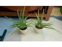 Indoor Medium Aloe Vera in Ceramic Pot