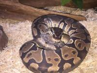 Royal Python (ball python) approx 3 years old inc vivarium