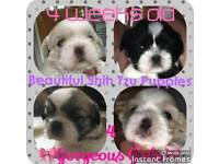 Shizus puppies for sale full pedigree.