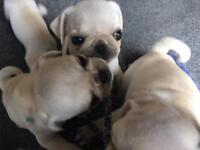Rare white pugs