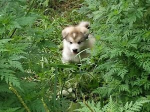 Alaskan Malamute puppies available by CKC registered breeder