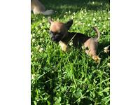 Gorgeous tiny chihuahua puppies READY NOW - REDUCED