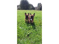 ***PRICE REDUCED***French Bulldog puppies KC Registered ready now 1 Sable girl and 1 Sable boy