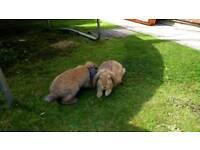 2 male rabbits with hutch & run